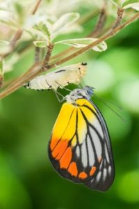 Beautiful butterfly emerges from a cocoon
