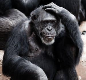 Affe kratzt sich am Kopf